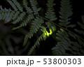 【ホタル】ゲンジボタルの発光 53800303