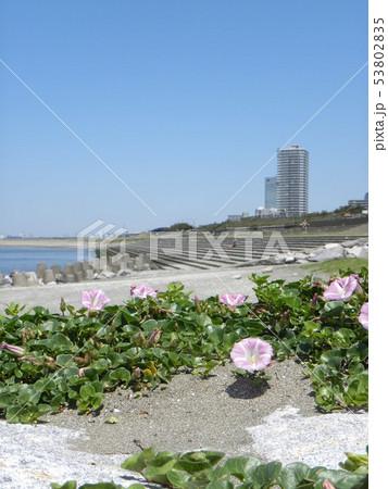 高層マンションの見える検見川浜海岸のハマヒルガオの桃色の花 53802835
