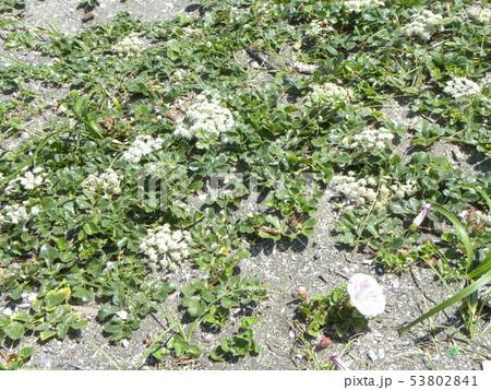 ハマヒルガオとハマボウフウの花 53802841