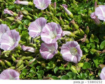 桃色のラッパ状のハマヒルガオの花 53803232
