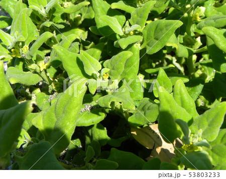 ツルナの小さい黄色い花 53803233