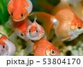金魚が大渋滞 53804170