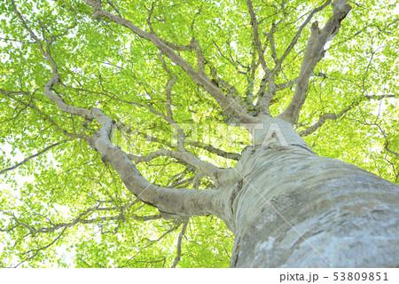 新緑のブナ林 53809851