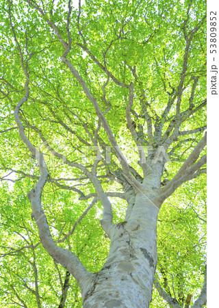 新緑のブナ林 53809852