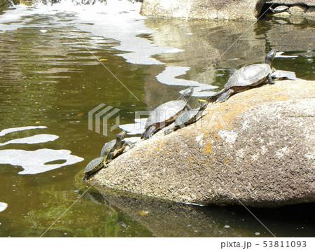 稲毛海浜公園の池に沢山の亀さん 53811093