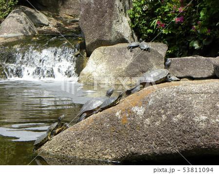 稲毛海浜公園の池に沢山の亀さん 53811094