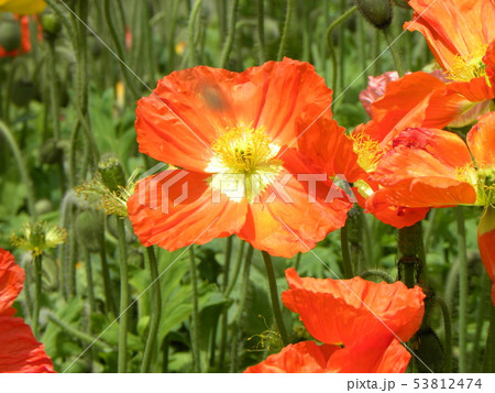 アイスランドポピーのオレンジ色の花 53812474
