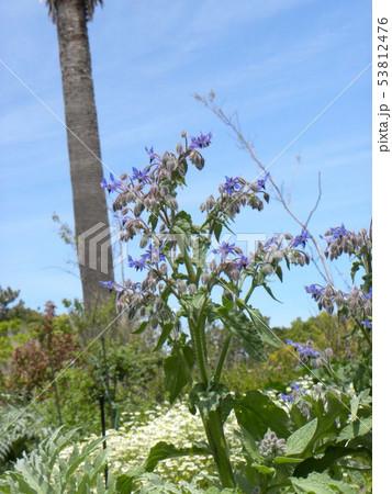 星型のボリジの青色の花 53812476