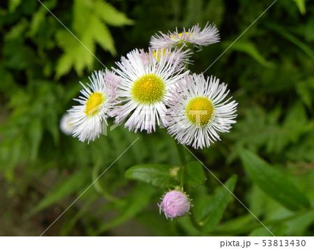初夏の花ヒメジョオンの白い花 53813430