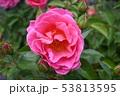 薔薇 53813595