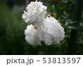 薔薇 53813597