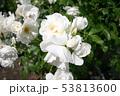 薔薇 53813600