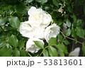 薔薇 53813601