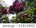 薔薇 53813602
