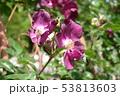薔薇 53813603