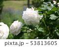 薔薇 53813605