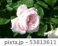 薔薇 53813611