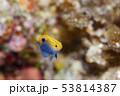 クロメガネスズメダイ 【幼魚】 53814387