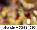 キホシスズメダイ 【幼魚】 53814393