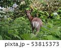 草むらの鹿 53815373