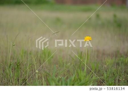 黄色い花一輪 53816134