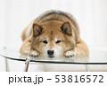 かわいい柴犬 53816572