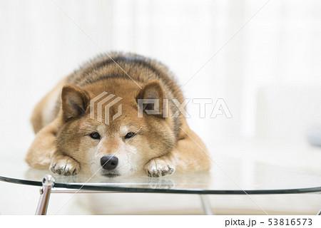 かわいい柴犬 53816573