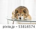 かわいい柴犬 53816574