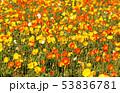 ポピー 花 花畑の写真 53836781