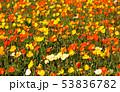 ポピー 花 花畑の写真 53836782