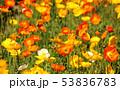 ポピー 花 花畑の写真 53836783