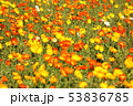 ポピー 花 花畑の写真 53836785