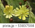 ウチワサボテンの花 53837508