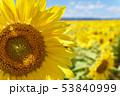 青空とひまわり(北海道・智恵文) 53840999