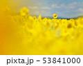 ひまわり畑(北海道・智恵文) 53841000