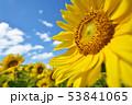 青空とひまわり(北海道・智恵文) 53841065