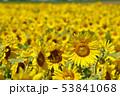 ひまわり畑(北海道・智恵文) 53841068