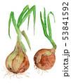 白バック 水彩 野菜のイラスト 53841592