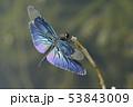 チョウトンボ♂ 53843009