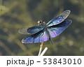 チョウトンボ♂ 53843010