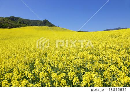 菜の花畑 53856635