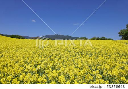 菜の花畑 53856648