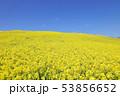菜の花畑 53856652