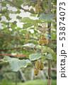 生育中のキウイフルーツ 53874073