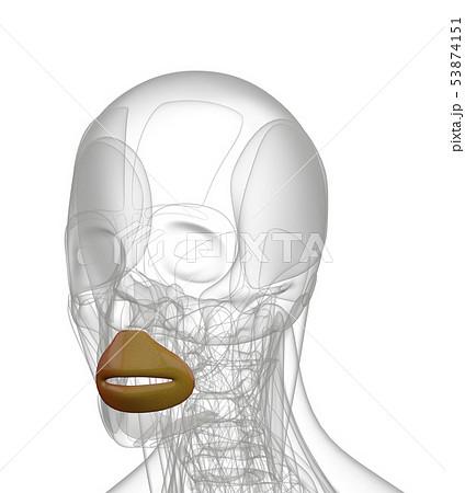 3d rendering of  Orbicularis Oris 53874151