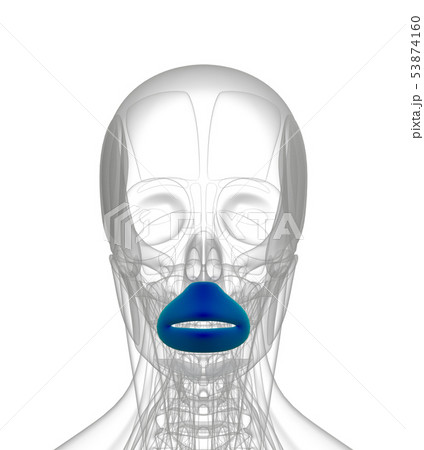 3d rendering of  Orbicularis Oris 53874160