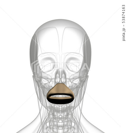 3d rendering of  Orbicularis Oris 53874163