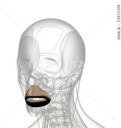 3d rendering of  Orbicularis Oris 53874166