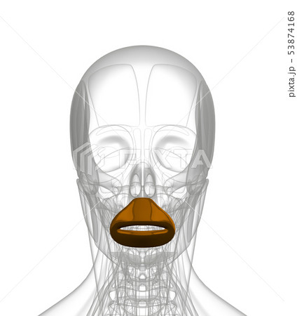 3d rendering of  Orbicularis Oris 53874168