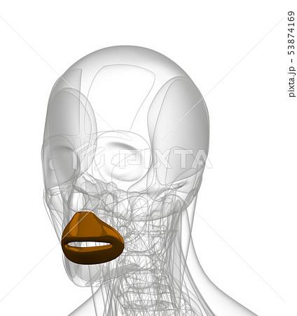 3d rendering of  Orbicularis Oris 53874169